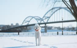 Cute Poodle Next to the Mississippi river