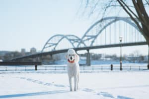 Cute Poodle Next to the Mississippi river in Davenport, IA