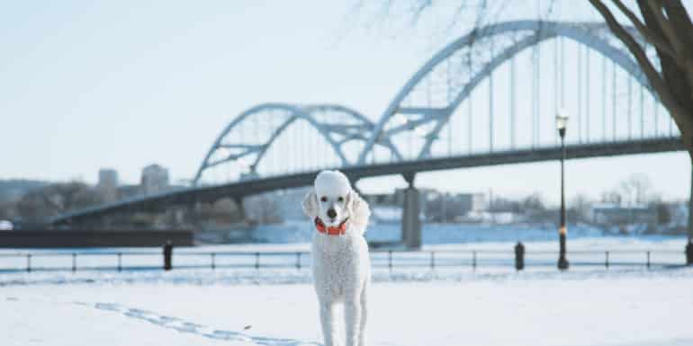 Cute Poodle pet photography Mississippi river