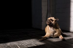 Cute pug picture in Davenport, IA